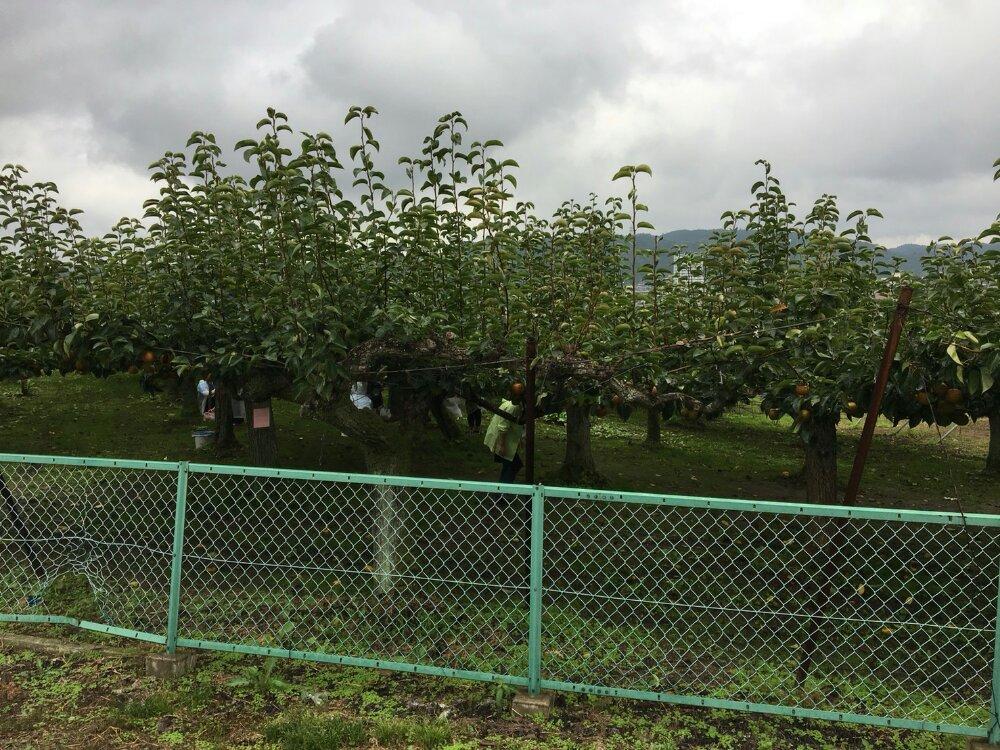 梨を探す人々
