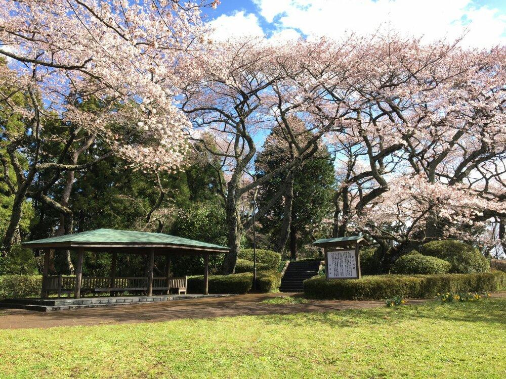利府城跡の桜